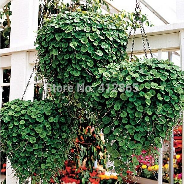 Free shipping 50pcs/bag Dichondra repens / kidney weeds seeds for DIY home garden Dichondra grass seeds(China (Mainland))
