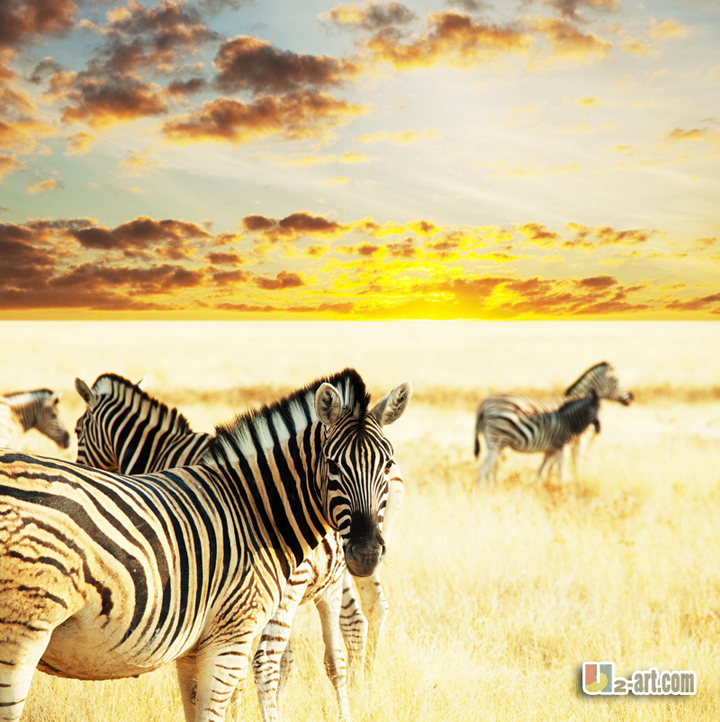 """Oil paintings printing for sale zebra canvas prints modern art for room decoration wall art 24''x24""""(China (Mainland))"""