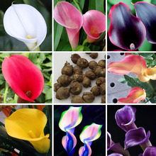 Calla Lily Bulbs Potted Balcony Plant Calla Can Radiation Absorption Mixed Colors - 20 pcs (not calla lily seeds)(China (Mainland))