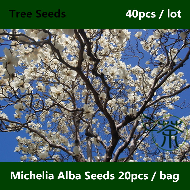 White Sandalwood Michelia Alba Seeds 40pcs, Chinese Bai Yu Lan White Champaca Seeds, Family Magnoliaceae Jade Orchid Tree Seeds(China (Mainland))