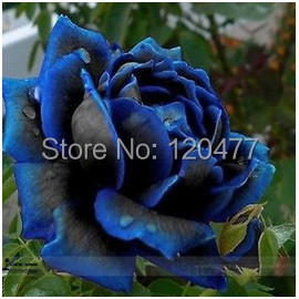 Free Shipping 50 Seeds China Rare dark blue Rose Flower(China (Mainland))