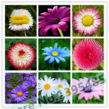 Buy 100 pcs / bag,Daisy seeds, potted seed, flower seed, variety complete, budding rate 95%, (Mixed colors) for $1.27 in AliExpress store