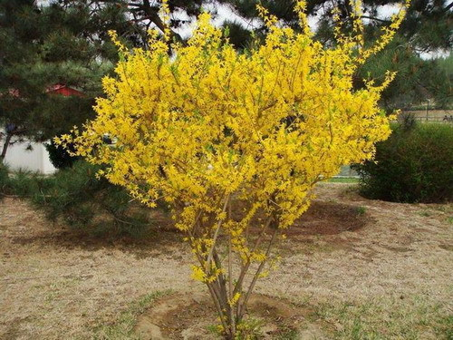 Free Shipping 1 Packs 20 Seeds Weeping Forsythia Seeds garden pots & planters(China (Mainland))