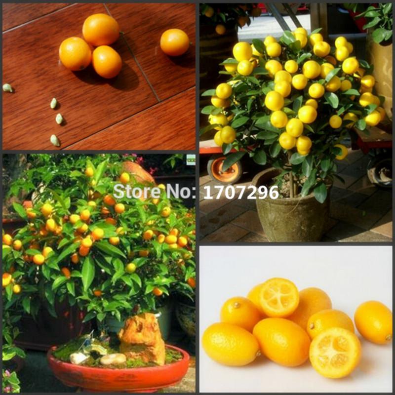 Hospitality high-grade fruit,miniature bonsai fruit tree,small kumquat seeds - 10 pcs / lot(China (Mainland))