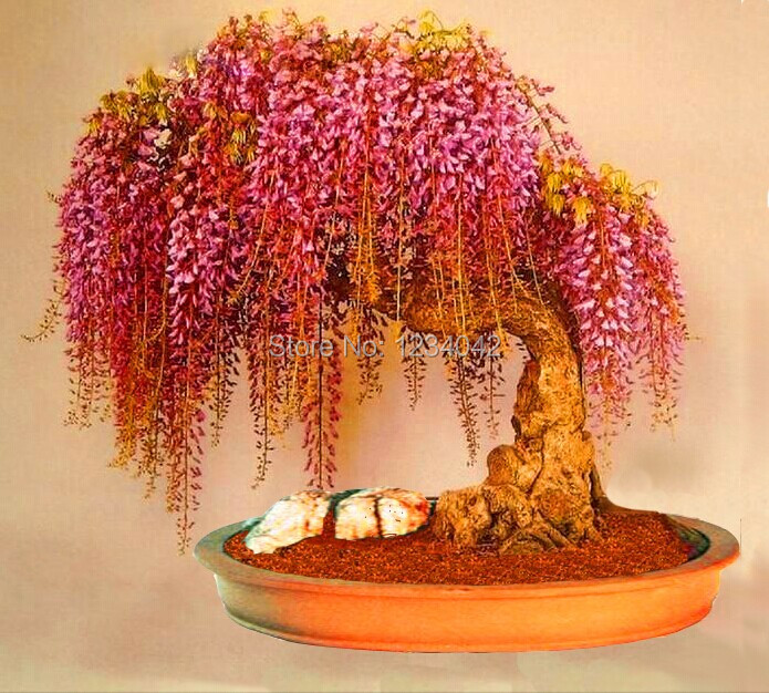 Free shipping 10pc rare gold mini bonsai wisteria tree 7 uncommon indoor plants