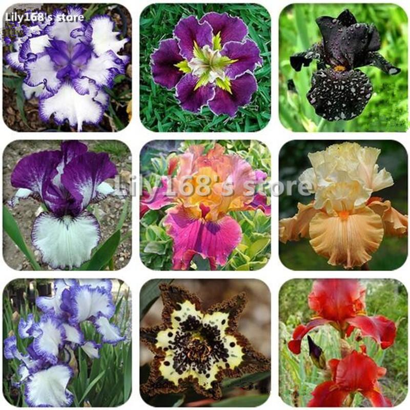 5 seeds/Pack Rare Heirloom Iris Tectorum Perennial Flower Seeds, Very Beautiful Flowers(China (Mainland))