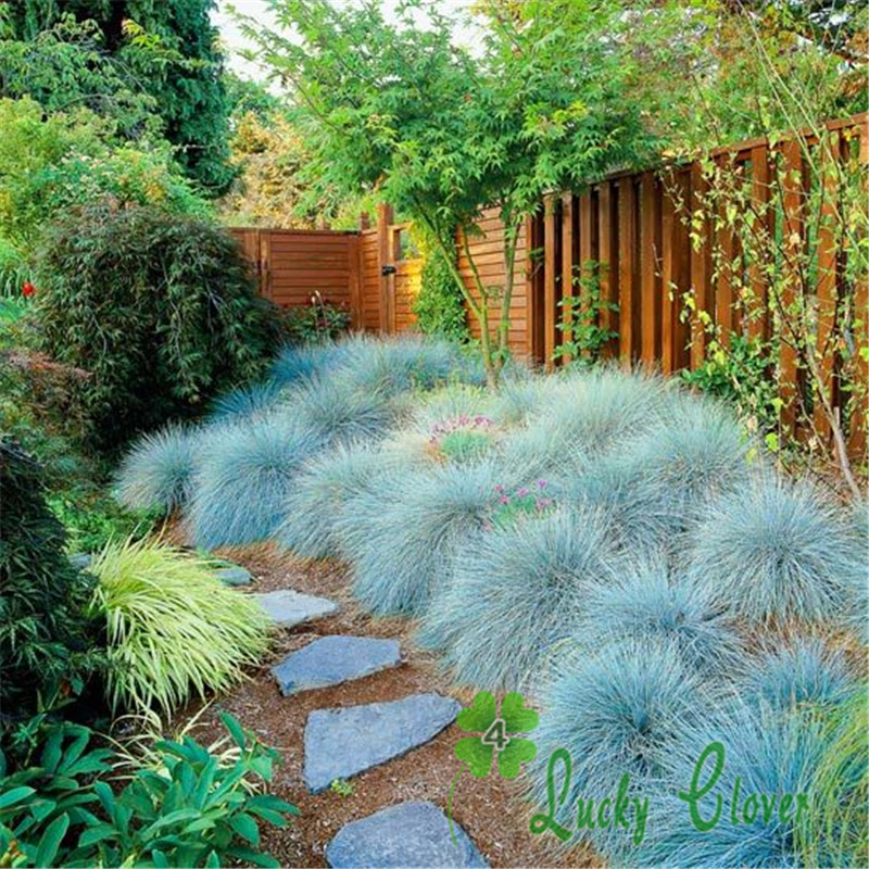Blue Fescue Grass Seeds Drought Tolerant Plant decorate your backyard free shipping(China (Mainland))