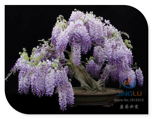 Heirloom 10 Wisteria Seeds Bonsai Tree Seeds Wisteria sinensis Chinese Wisteria Vine Violet Blue Flowers(China (Mainland))