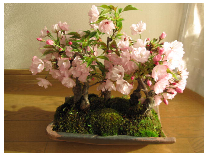 Japanese Sakura Seeds Cherry Blossoms Seeds japanese Cherry Cerasus Yedoensis Biji Bonsai Flower Seeds Drop Shipping