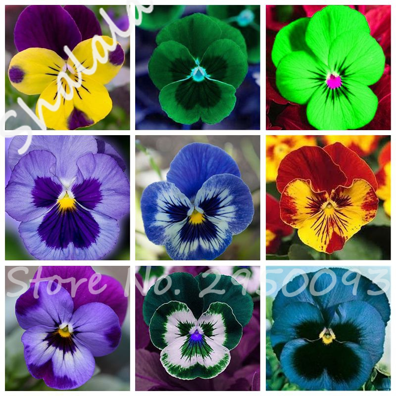 Free Shipping 10 Pcs Exotic Seeds Pansy Seeds Mix Color Bonsai Flower Seeds DIY Home Garden Potted Or Yard Ornamental Plants(China (Mainland))