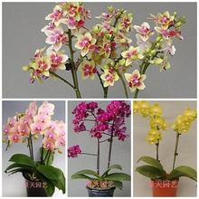 Seeds bonsai balcony flower orchid seeds bundle  – 50 pcs