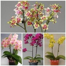 Phalaenopsis sementes bonsai varanda flor sementes de orquídeas pacote - 200 pcs sementes de orquídeas Phalaenopsis(China (Mainland))