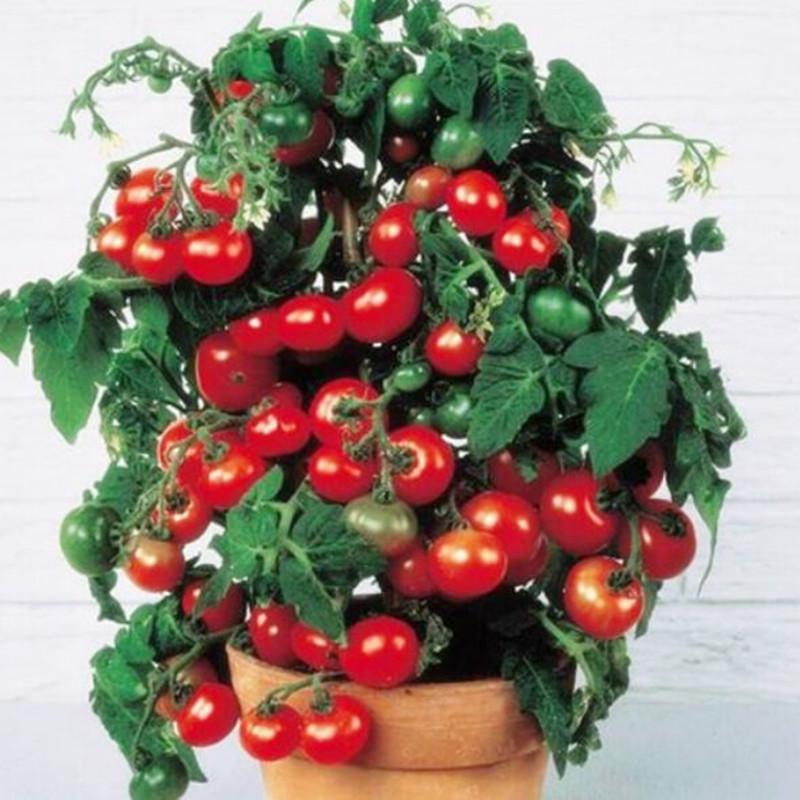 Уход за помидорами черри на балконе.