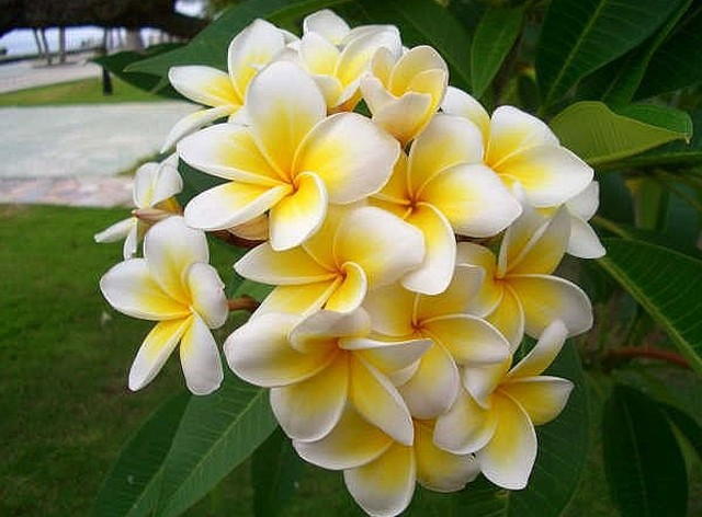 50 seeds Home Garden Frangipani PLUMERIA Rubra Lei Egg Flower Seeds(China (Mainland))