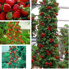 Free Shipping, 200 Climbing Red Strawberry Seeds With Salubrious Taste * Non-gmo Strawberry Mount Everest* Edible * Fruit