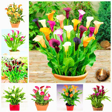 Buy 10 Bulbs Rainbow Calla Lily Bulbs Potted Balcony Elegant Noble Flower Home Garden Rare Plants Potted (Not Zantedeschia Seed) for $7.28 in AliExpress store