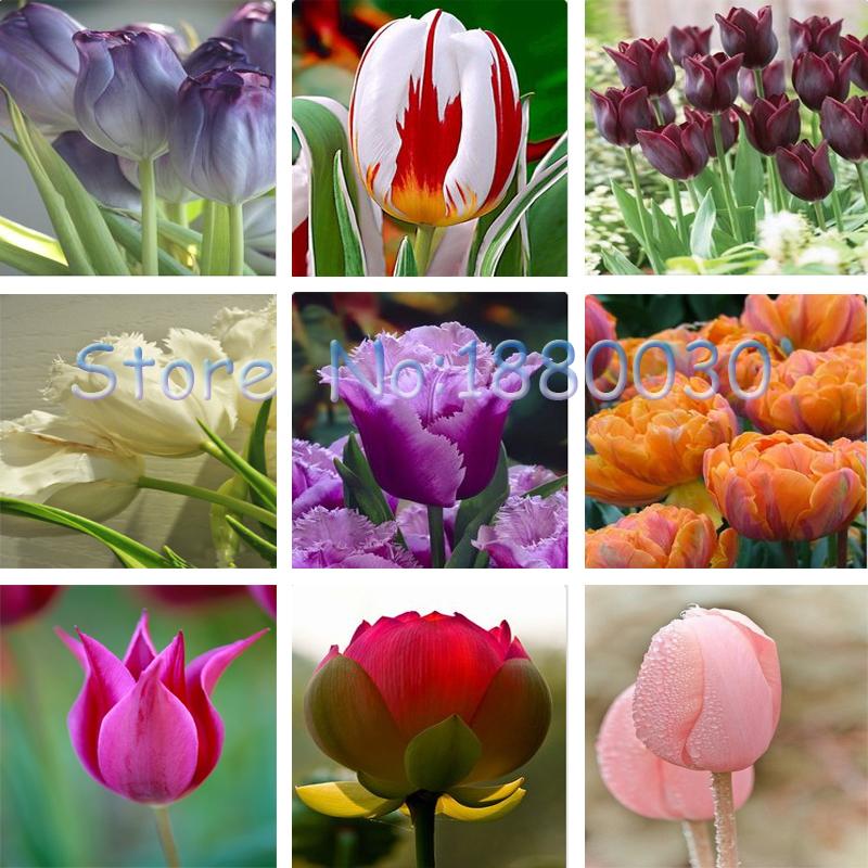 купить голандский тюльпан в москве Гисметео погоде