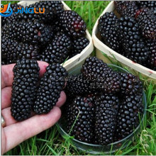100 nutritious Pre-Stratified Jumbo Thornless Blackberry Seeds juicy  sweet healthy fruit DIY Home Garden Fruit Seeds(China (Mainland))