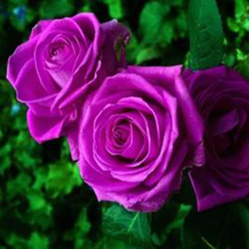 Beautiful Purple Rose Flowers