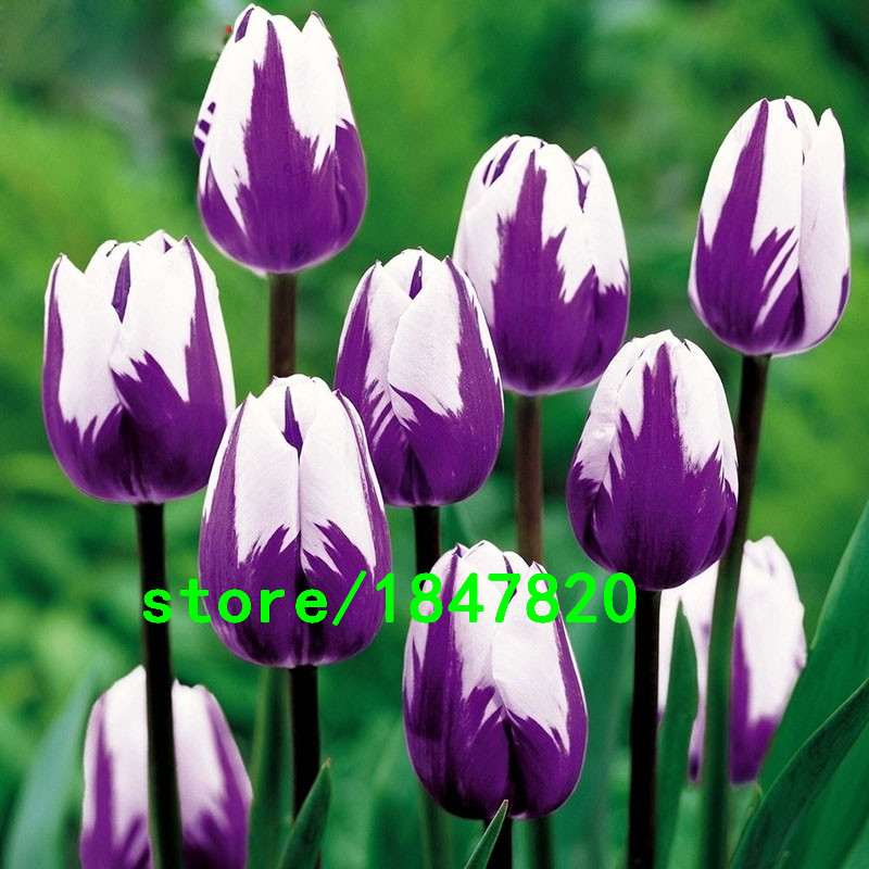 Hot Sale Rare Bonsai Purple White Edge Tulip Seeds Tulip Flower Seeds Perennial Home Garden Potted Plants 100 Particles / lot(China (Mainland))