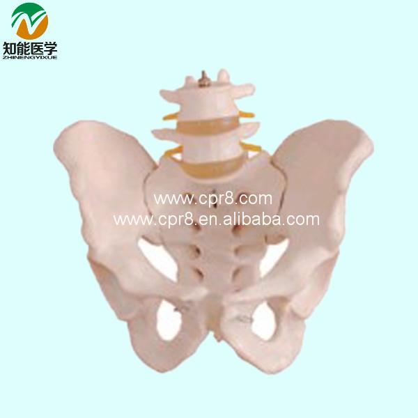Life-size pelvis model with 2 lumber vertebra model BIX-A1027(China (Mainland))