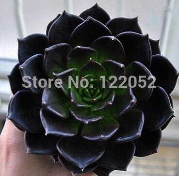 Flower pots planters Mix Succulent seeds lotus Lithops Pseudotruncatella Bonsai plants Seeds for home & garden 100 Seeds/bag(China (Mainland))