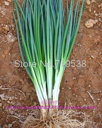 Гаджет  balcony bonsai onion seeds four seasons small chives 1000   pcs Vegetable seeds None Дом и Сад