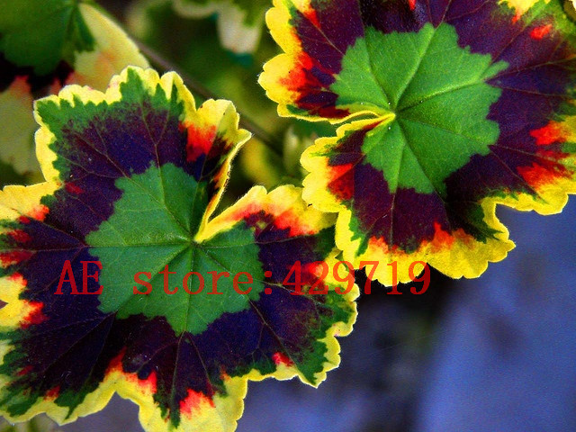 100 pcs rare japan geranium seeds perennial flower for Plantas ornamentales de interio