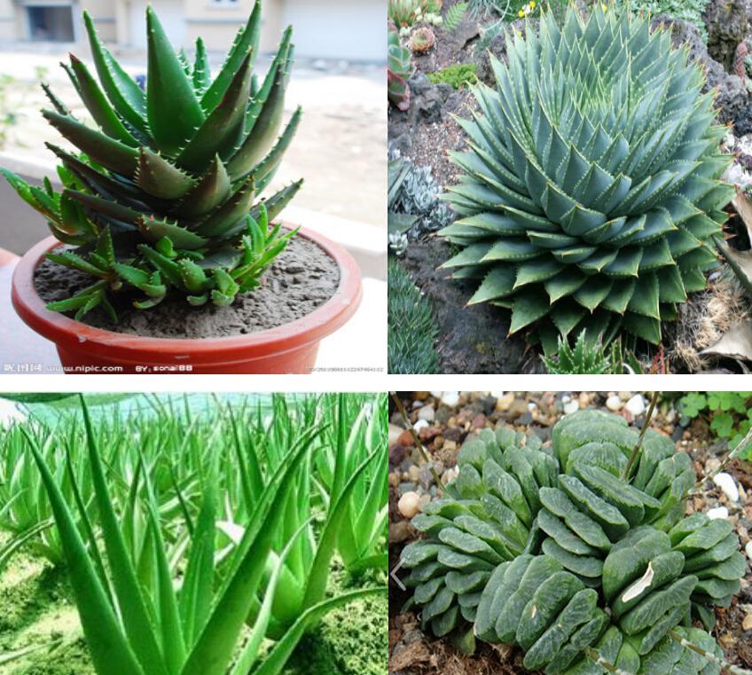 Semi piante rare 60pcs semi lithops mix semi piante for Piante rare