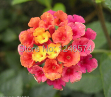 Buy 100 pcs / bag, Lantana seeds, potted seed, flower seed, variety complete, budding rate 95%, (Mixed colors) for $1.11 in AliExpress store
