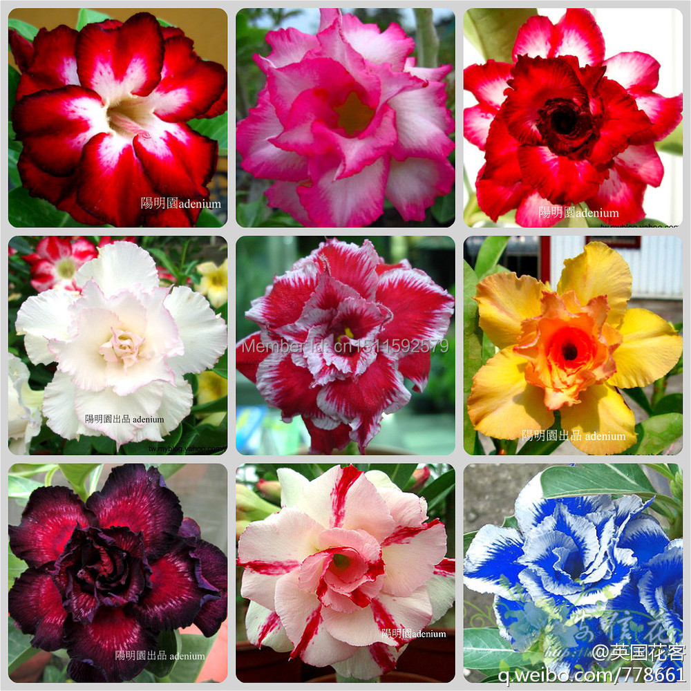 20 pcs/bag Adenium obesum seeds rainbow desert rose Bonsai plants Seeds Flower pots planters DIY home & garden - Princess store