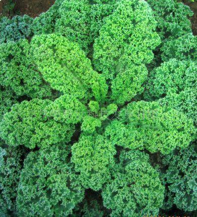 gong shi fa cai vegetable seeds