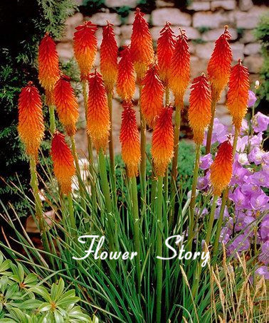 Гаджет  Kniphofia Flower Seeds Red hot pokers-plant Torch Flower So Pretty Long Blom fiery-hued flower light up landscape Free Shipping None Дом и Сад