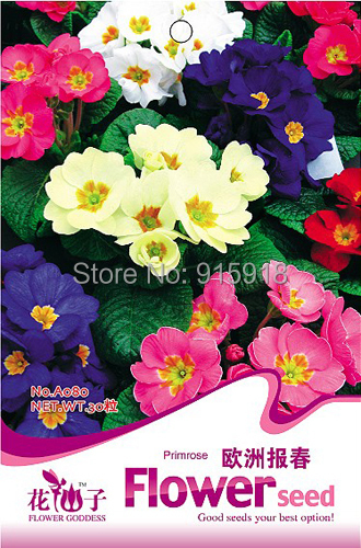 Buy 2 Get 1!(Can accumulate ) 1 Pack 50 SEED Primula polyantha Pacific Giants mix Flower A080(China (Mainland))