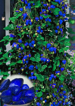 500pcs Blue Climbing Strawberry seeds tree Seed,very delicious Fruit Seeds For Home & Garden bonsai seeds,sent gift as10 kiwi
