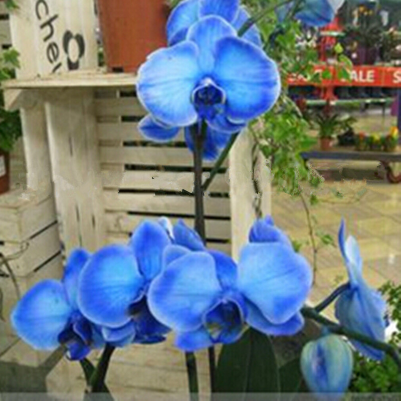 Rare orchid ! 10pcs Bonsai Balcony Flower Butterfly Orchid Moth Orchid Seeds Sky Blue DIY Home Garden Free Shipping