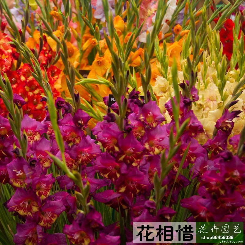 Take Xiangxi Home Furnishing indoor plants imported from Holland bulbs of Gladiolus corms in Gladiolus blossom(China (Mainland))