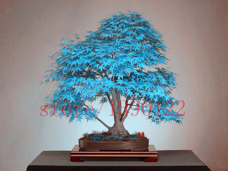 buy 20 blue maple tree seeds rare. Black Bedroom Furniture Sets. Home Design Ideas