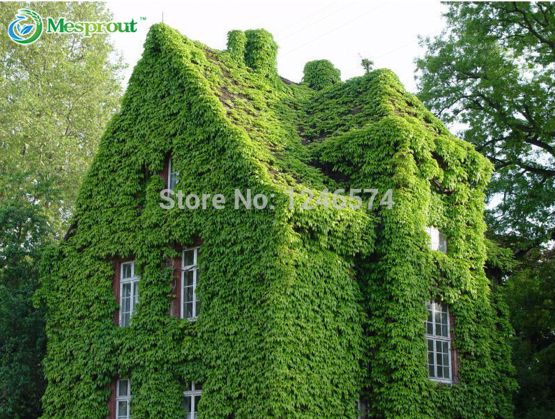 Hedera seeds, garden walls dedicated seeds, covering a large area, Plant climbing strong, budding rate, 150pcs(China (Mainland))