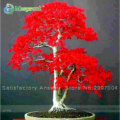 Loss Promotion! Potted Plant seeds 100% True Japanese Red Maple Bonsai Tree Seeds, 20 Seeds / Pack, Very Beautiful Indoor Tree(China (Mainland))