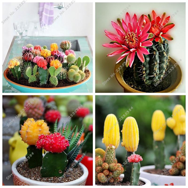 100pcs/bag Succulents Seeds Cactus Hybrid Bonsai Seeds Different Cacti Species, Mixed Cactus Seeds Cactaceae(China (Mainland))