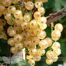 Buy Fresh White Currant Seeds, Professional Pack, 20 Seeds / Pack, 100% True Champagne Berry Currant Fruit #NF582 for $2.22 in AliExpress store