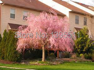 10 pink fountain weeping cherry tree DIY Home Garden Dwarf Tree everybody wants it Free Shipping