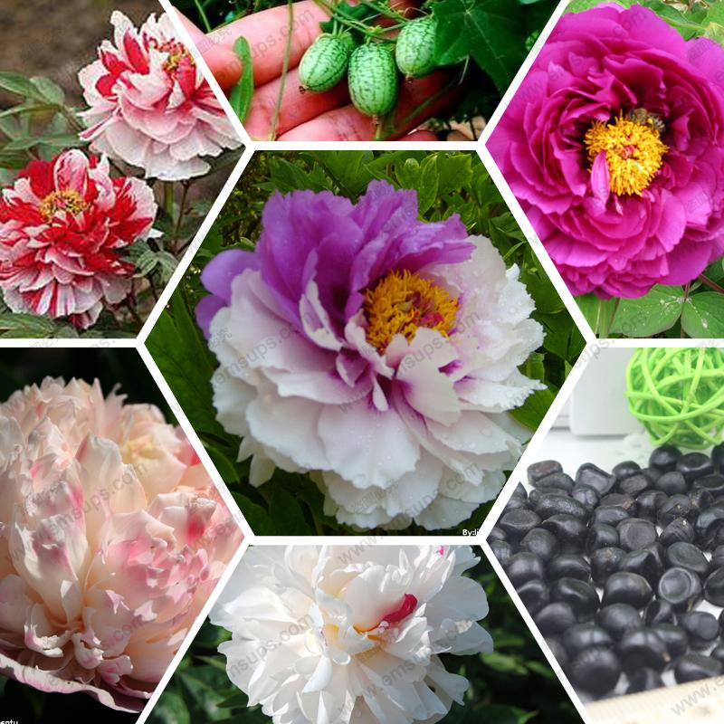 Peony seeds rare black peony flower seed bonsai home garden decoration 100% real seeds 20 pcs / bag(China (Mainland))