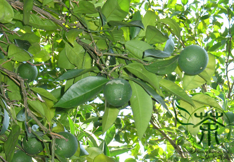 Citrus Sinensis Distribution Citrus Sinensis