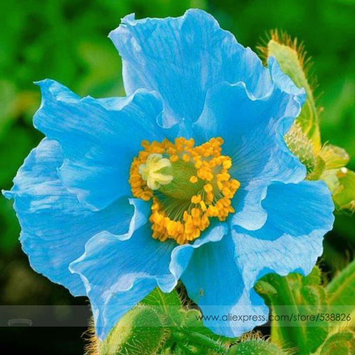 Rare Blue Himalayan Poppy Seeds, Professional Pack, 100 Seeds / Pack, Very Beautiful Hardy Flower NF581(China (Mainland))