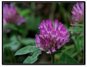 20:1 Red clover extract<br><br>Aliexpress