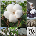 100pcs Cotton plant Gossypium Seeds