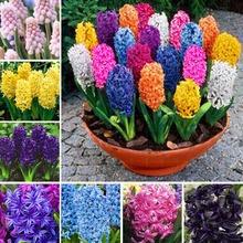 Hot sale!Hyacinth Bulb,Free shipping cheap perfume Hyacinth Bulb, mixing different color - 1Hyacinthus Orientalis Bulb(China (Mainland))