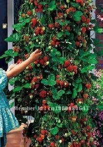 10pcs/bag Aromastar Strawberry Climbing Strawberry Seeds DIY Home Garden